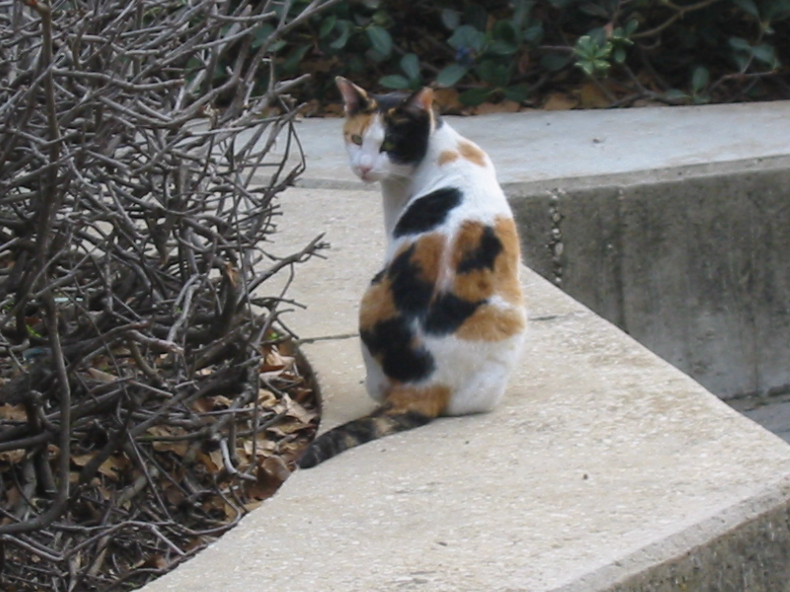 White Cat With Ginger And Black Patches